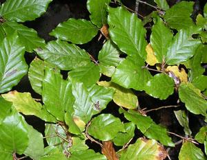 Majuelo maguchal crataegus monogyna for El arbol que no tiene hojas